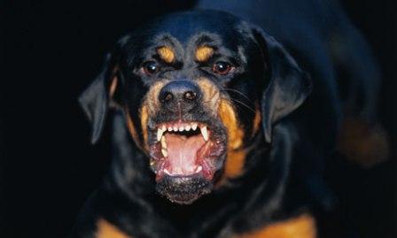Rottweiler agresivo